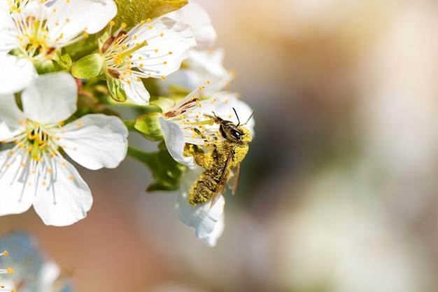 Pszczoła miodna zbierająca pyłek z kwitnących drzew brzoskwini.