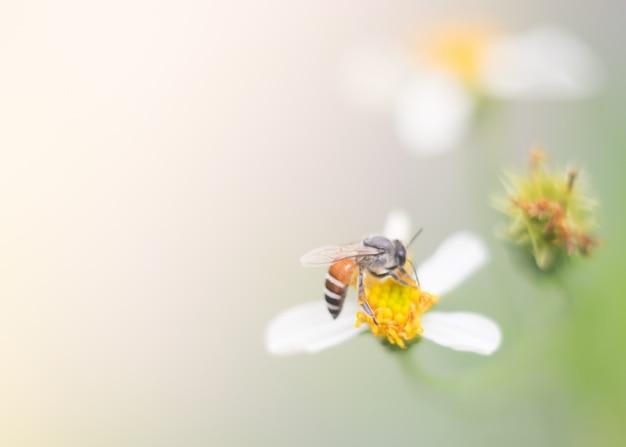 Pszczoła miodna zbliżenie na kwiat