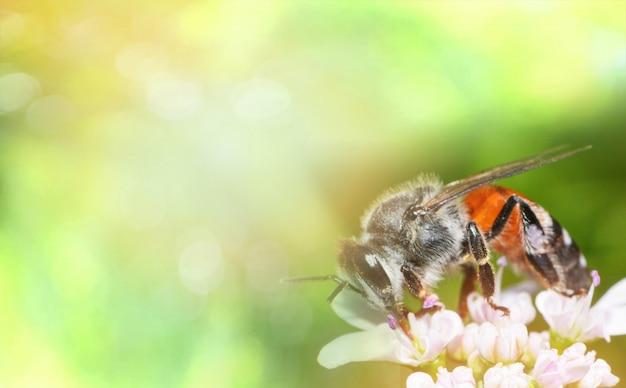 Pszczoła na białym kwiacie natura zielony żółty tło