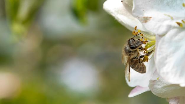 Pszczoła na jabłoniowym kwiacie w naturze