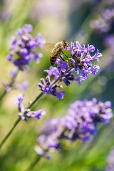 Pszczoła na kwiatach lawendy
