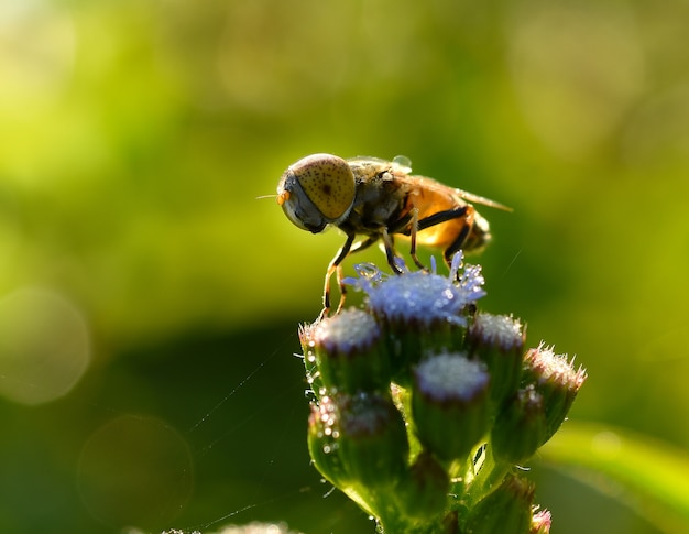 Pszczoła na kwiatach rano