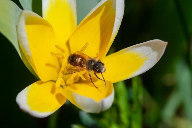 Pszczoła na kwiatku. zamknij się duże paski pszczoły zbierające pyłek na żółty kwiat. makro