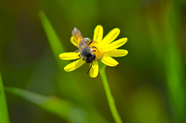 Pszczoła na kwiatku zbierającym pyłek, aby stworzyć miód