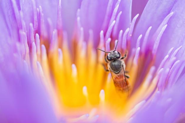 Pszczoła na kwiatu lotosu zakończeniu up