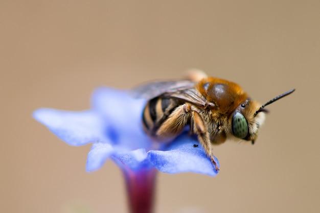 Pszczoła na niebieski kwiat