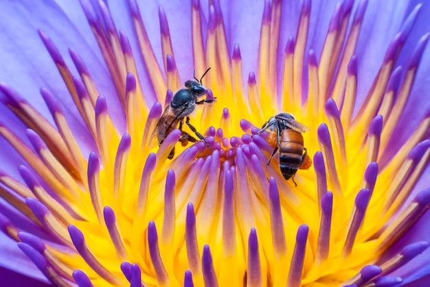 Pszczoła na piękny kwiat lotosu.