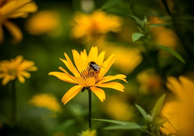 Pszczoła na piękny kwiat z bliska.