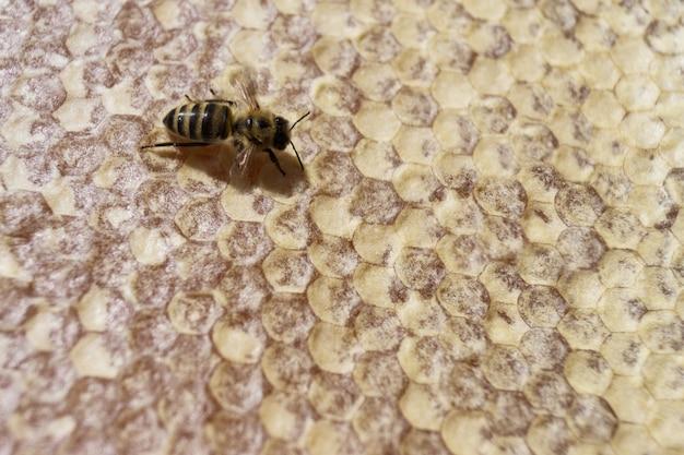Pszczoła na plastrze miodu. pszczelarstwo.