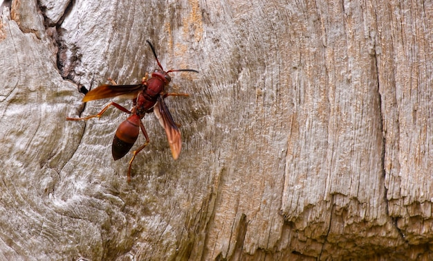 Pszczoła na powierzchni starego drewna tekowego na naturalne tło