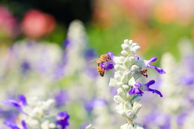 Pszczoła na purpurowy kwiat
