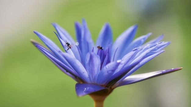 Pszczoła na purpurowym lotosowym kwiacie. makro