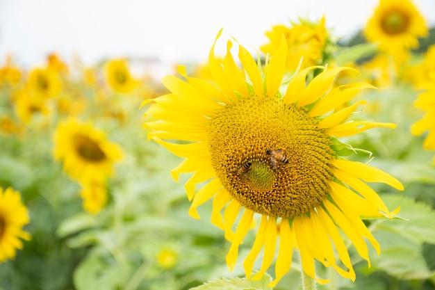 Pszczoła na słońce kwiacie przy rankiem.