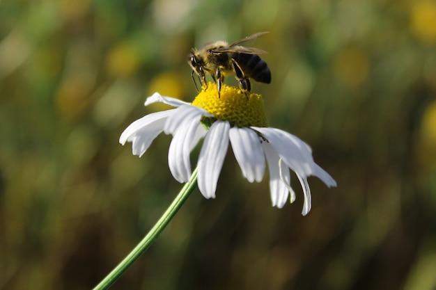 Pszczoła na stokrotka kwiatu zakończeniu up. fotografia makro