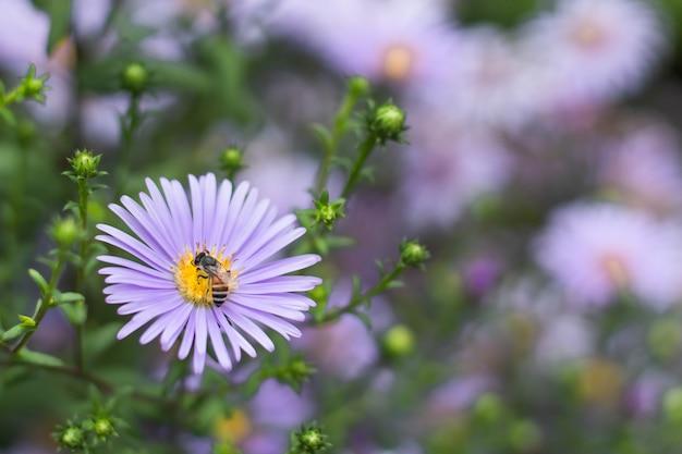 Pszczoła na symphyotrichum novae-angliae w ogrodach