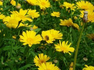 Pszczoła na żółte kwiaty, pszczoła