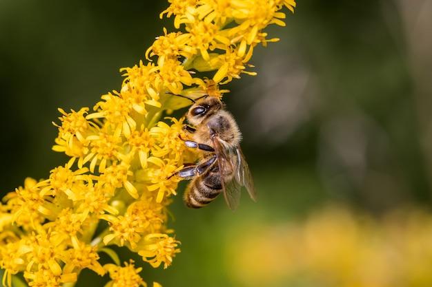 Pszczoła na żółtym dzikim kwiecie w polu