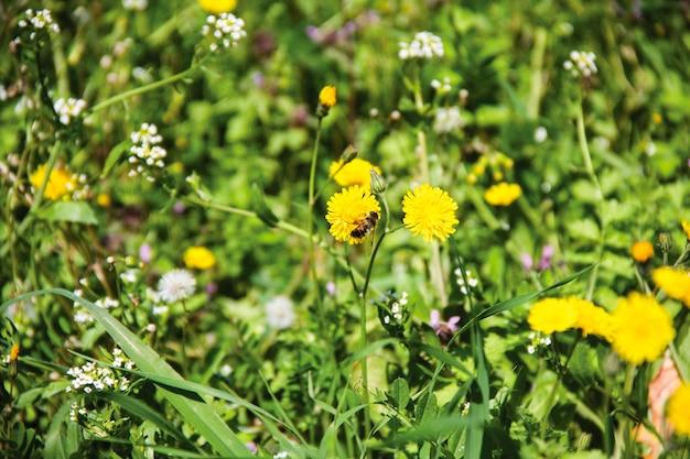 Pszczoła na żółtym kwiecie mniszka lekarskiego