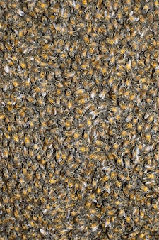 Pszczoła o strukturze plastra miodu (apis mellifera)