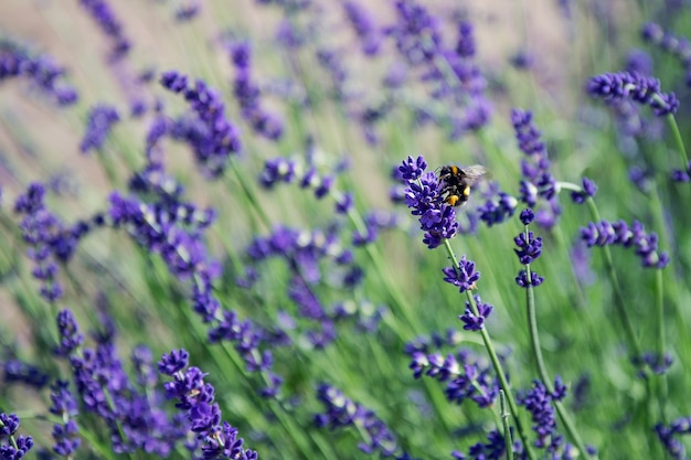 Pszczoła okrąża kwiat lawendy na polu lawendy