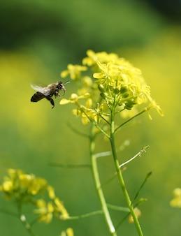 Pszczoła owad zbiera nektar kwiatowy i pyłek na łapach