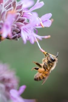 Pszczoła popijająca fioletową flaszkę
