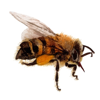 Pszczoła ręcznie rysowane szkic i ilustracje akwarela