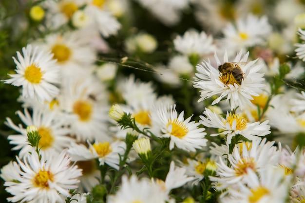 Pszczoła siedząca na matricaria zbiera nektar