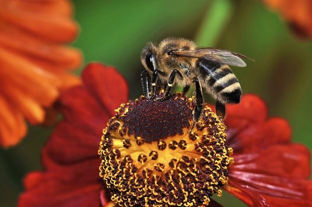 Pszczoła siedzi na kwiacie i zbiera pyłek na miód