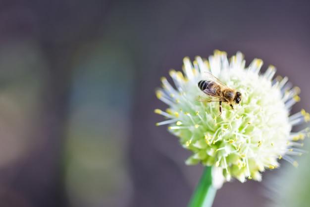 Pszczoła siedzi na kwiat cebuli w ogrodzie. fotografia pozioma