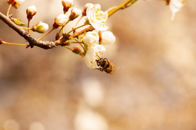 Pszczoła siedzi na kwiatku kwitnącego drzewa.
