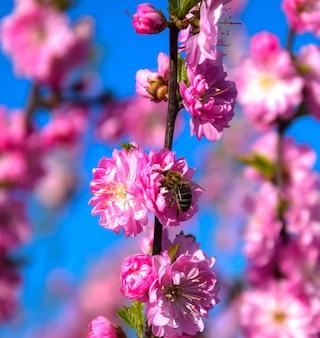 Pszczoła siedzi na pięknej sakura. japońska wiśnia.