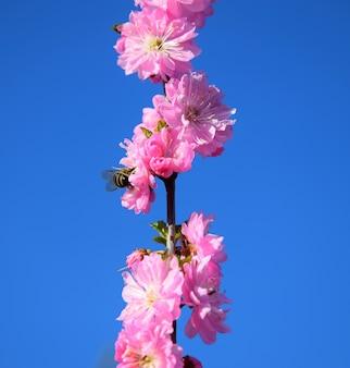Pszczoła siedzi na pięknym wiśniowym drzewie