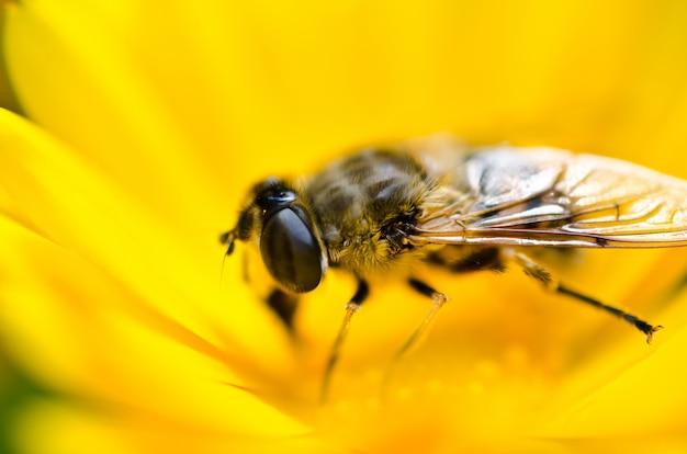 Pszczoła siedzi na pięknym żółtym kwiecie i zbiera pyłek