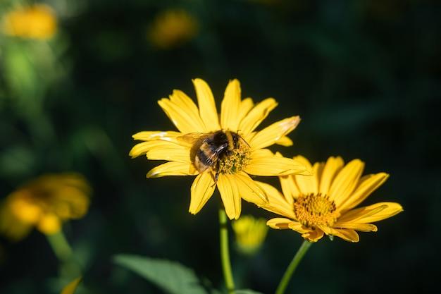 Pszczoła siedzi na żółtych kwiatach oświetlonych promieniami słońca. koncepcja lato. selektywna ostrość i niewyraźne tło.