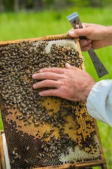 Pszczoła sprawdzająca ramkę z plastrami miodu pełnymi pszczół. koncepcja pasieki. pszczoły na plaster miodu