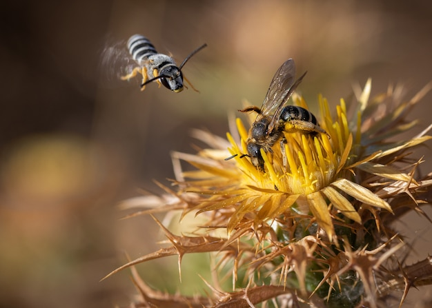 Pszczoła ssąca kwiat, podczas gdy inna leci.