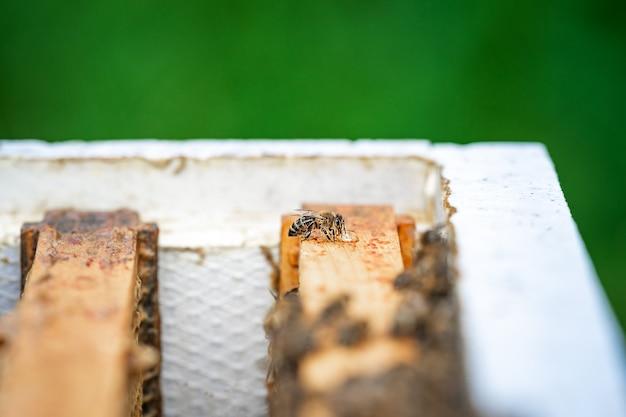 Pszczoła ssąca nektar w ulu