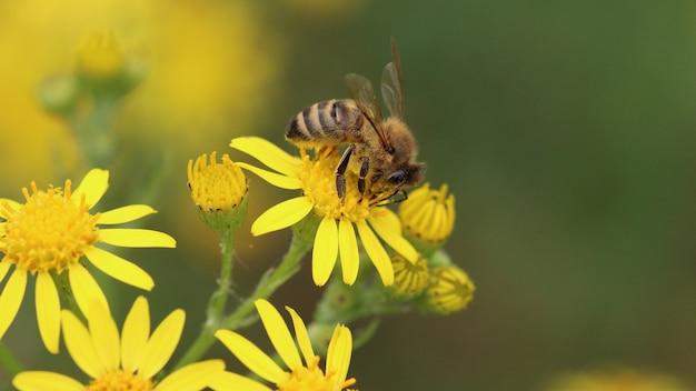 Pszczoła stojąca na żółtym kwiatku otoczona innymi