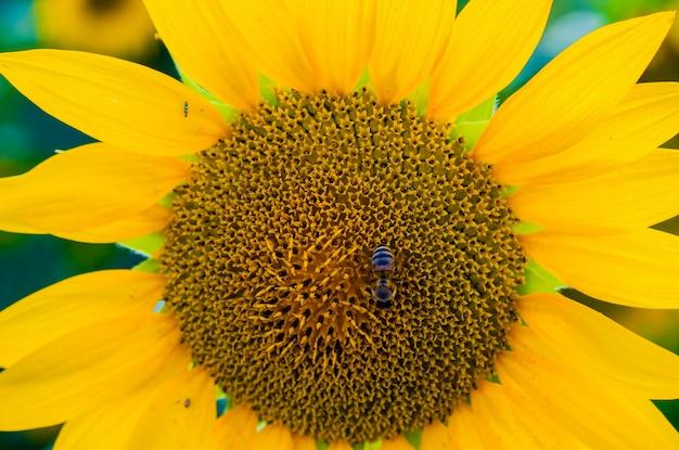 Pszczoła unosi się na słoneczniku. zamknij s? onecznika, selektywne fokus na niewyra? ne t? o
