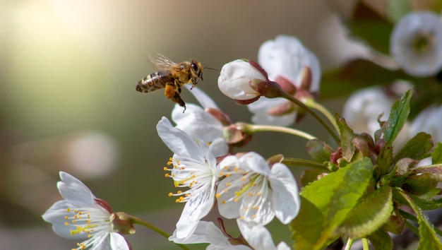 Pszczoła w locie do kwiatu wiśni w słoneczny dzień.