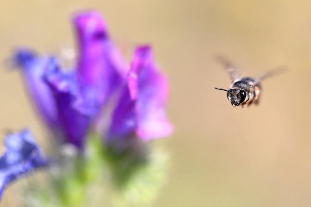Pszczoła w locie w pobliżu pięknego kwiatu