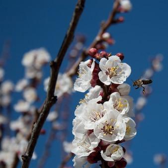 Pszczoła w migdałowym kwiacie