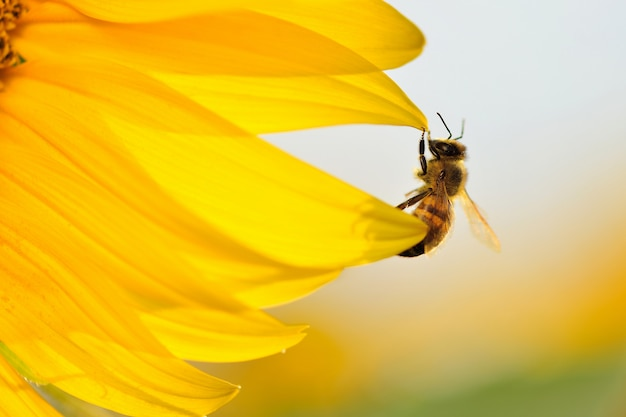 Pszczoła wisi na krawędzi płatków słonecznika