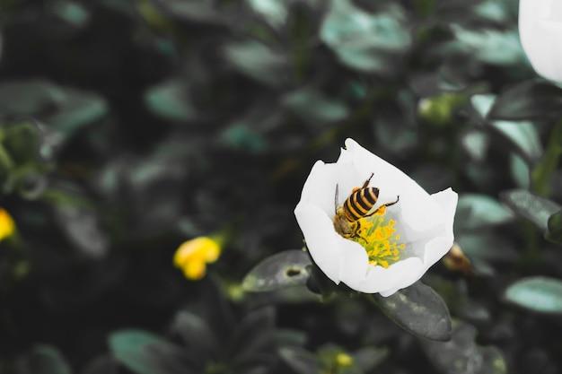 Pszczoła wysysa nektar z białego kwiatu posadzonego na górze.
