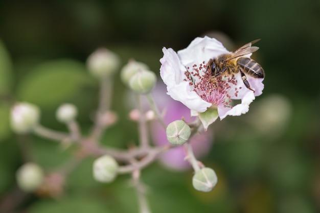 Pszczoła wysysa nektar z kwiatu.