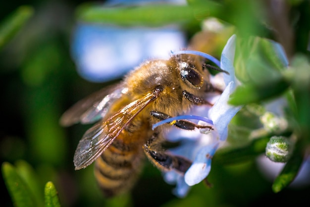 Pszczoła z bliska