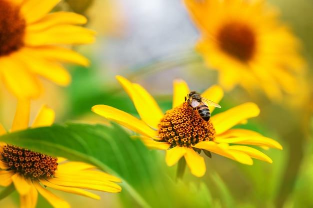 Pszczoła. zakończenie wielki pasiasty pszczoły obsiadanie na żółtym kwiacie i zbiera nektar w pogodnym letnim dniu.