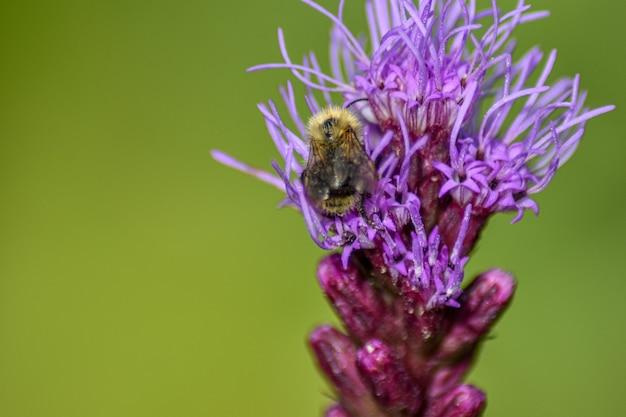 Pszczoła zapyla kwiat w letnim ogrodzie