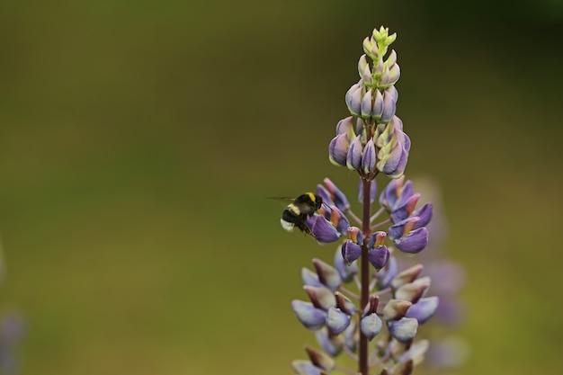 Pszczoła zapyla kwiaty łubinu. kreatywne letnie tło